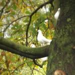 Duiven in de grote notenboom