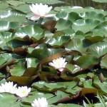 Waterlelies op de natuurvijver